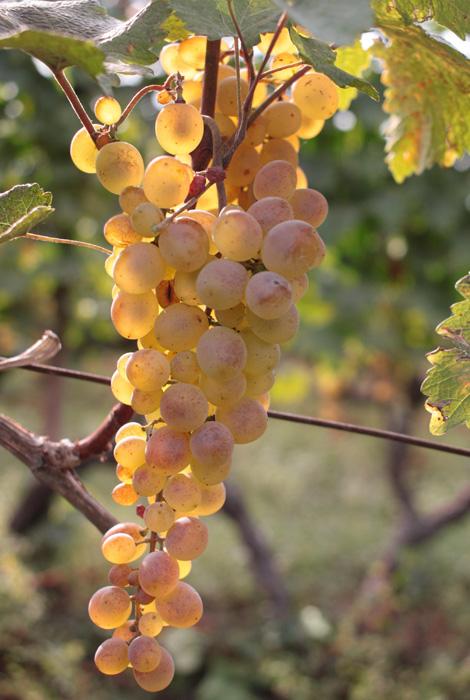 grape-wine-tour